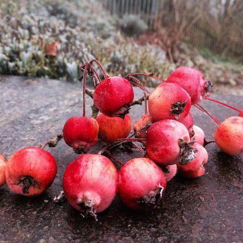 Winterliche Schmuckstücke: leicht gefrostet Zieräpfel