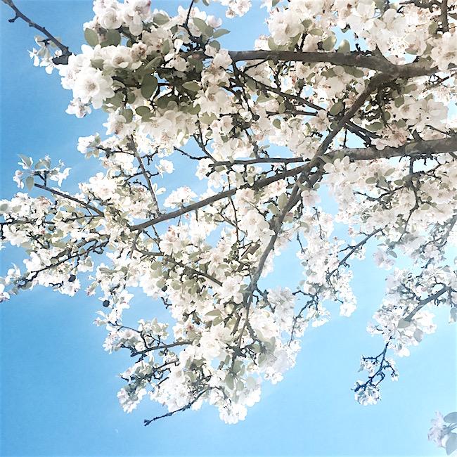 Frühling! Weiße Blüten vor blauem Himmel